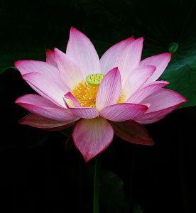 Lotus_2013_sai
